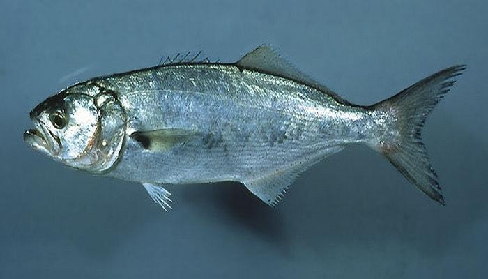 lüfer balığı ile ilgili görsel sonucu